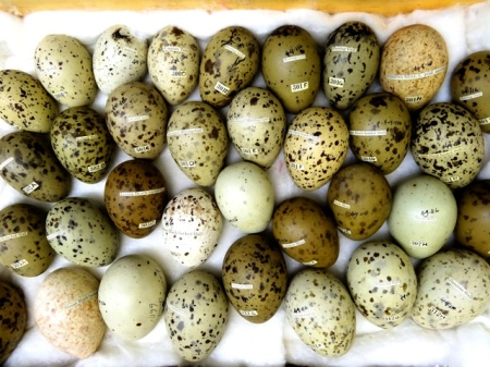 Egg collections like this helped identify the harm done by DDT. Image by Paolo Viscardi