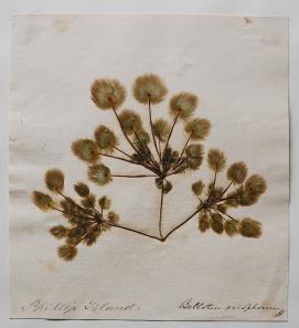 Detail of: Bellotia eriophorum Harvey. Collected by F. von Mueller, Phillip Island (Australia). MG0053 in the Margaret Gatty herbarium, STA.