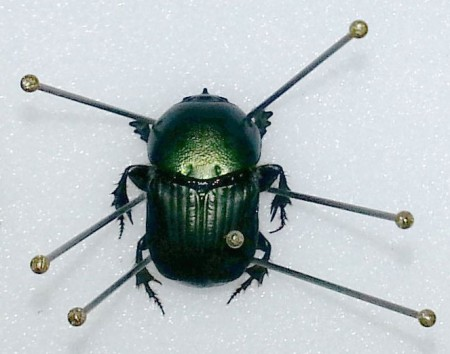 The scarab beetle in the centre of this image shows how pins are used to manipulate the legs whilst the specimen is drying, after which it will maintain its shape.