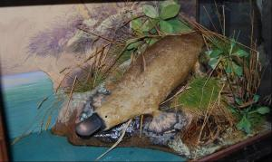 Spicer platypus case after conservation