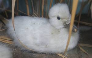 Cygnet before conservation