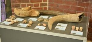 Bones and teeth of Ice Age animals. (C) Julian Wright (HCCAMS)
