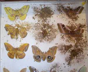 Pest damage to entomology collections results in the disintegration of specimens. (C) UCL Grant Museum