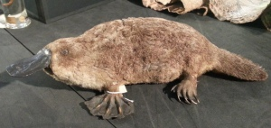 If you think our platy is a fatty, you should see the one at Eton! Specimen LDUCZ-Z20 (C) UCL / Grant Museum