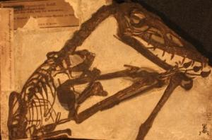 A cast of the pterosaur Scaphognathus crassirostris at the Grant Museum of Zoology. LDUCZ-X1086 (C) UCL/Grant Museum
