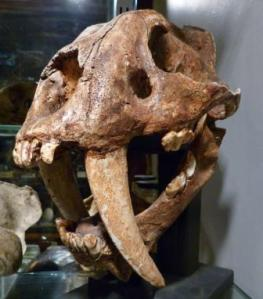 To care for and manage our collections, Freedman explains why it's best to ask each other for help. The smilodon cast LDUCZ-Z2724 at the Grant Museum of Zoology. (C) UCL / Grant Museum of Zoology