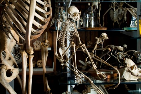 Primate skeletons in the Grant Museum of Zoology, UCL ©UCL, Grant Museum of Zoology and Matt Clayton