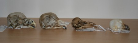 Melanie's owl skulls.