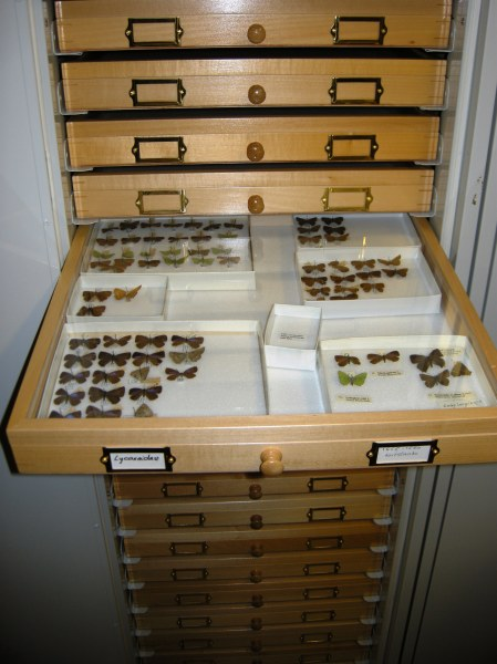 Lycaenidae being arranged in the new drawers.