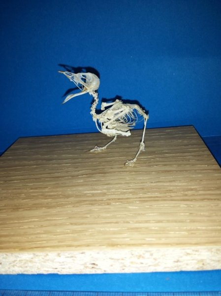 Sam's mounted swallow