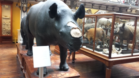 Taxidermy rhino with the horn removed and sign explaining the problem of thefts from museum specimens. (Image by Dr John Hutchinson, 2013)