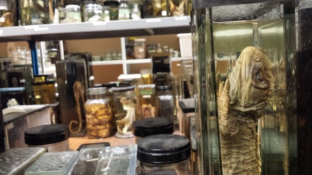 Shelves of fluid-preserved animal specimens in jars, in the Hunterian's spirit collection. Photo: Glenn Roadley
