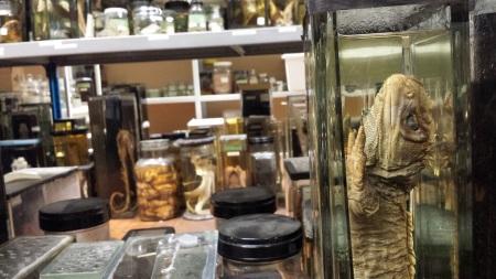 Shelves of fluid-preserved animal specimens in jars, in the Hunterian's spirit collection. Photo: Glenn Roadley