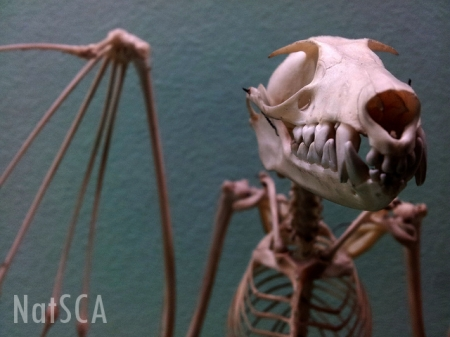 A mounted skeleton of a fruitbat leers at the camera