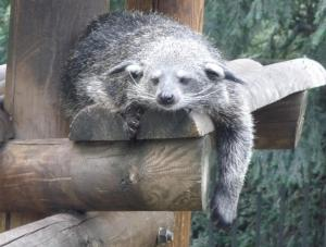 Chill out with NatSCA's Digital Digest. Binturong (C) Emma-Louise Nicholls