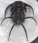 Ceratarges spinosus trilobite from Morocco (Obtained from www.wikimedia.org)