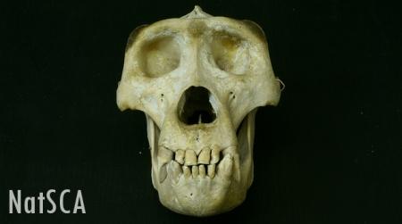 Gorilla skull on a black background