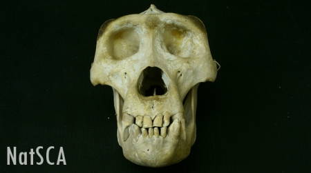 Gorilla skull on a black background