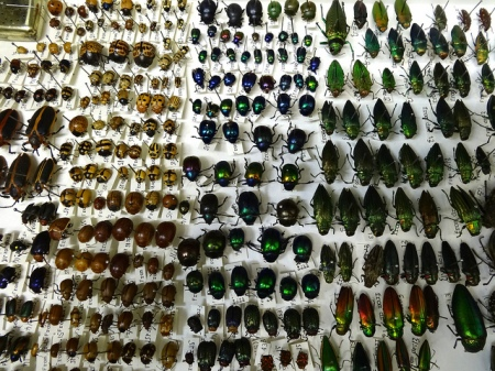 Drawer of various brightly coloured beetles, organised in neat rows with labels
