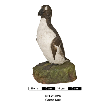 Mounted Great Auk specimen (Horniman Museum & Gardens)