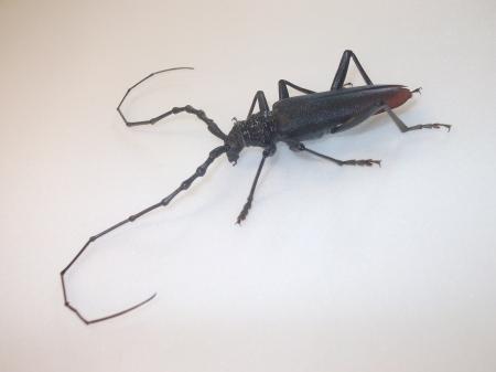 Capricorn Beetle (Cerambyx cerdo)