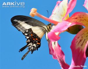 Hectors swallowtail butterfly extracting nectar from a flower. © Cláudio Timm