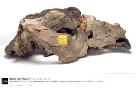 A Toxodon skull from @NHM_London for #FossilFriday