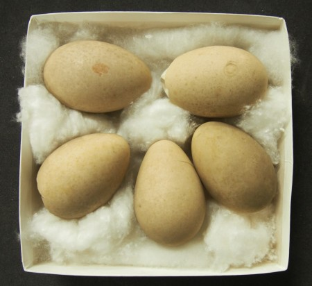 Clutch of Antarctic goose eggs collected by John MacNaught Campbell in 1871
