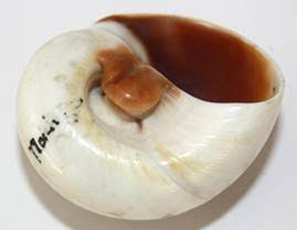 Shell. Image: Derby Museums
