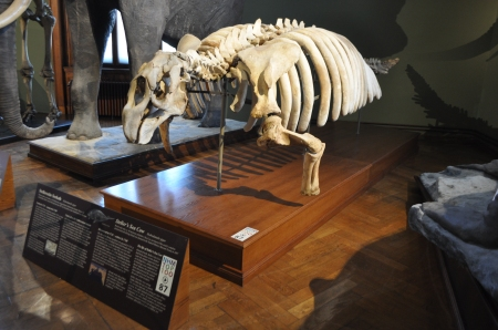 Skeleton of Stellar's Sea Cow (Hydrodamalis gigas) (Image: Anthony Roach)