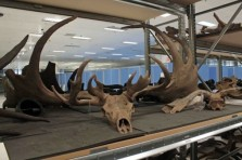 Giant deer skull and antlers in the Museum of Ireland's stores