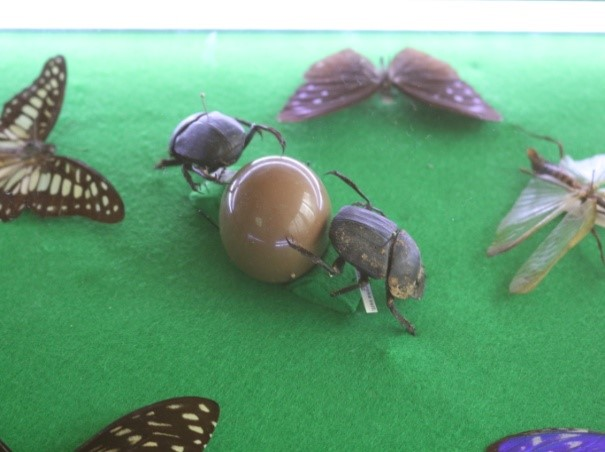 Two dung beetles fight over a vital resource
