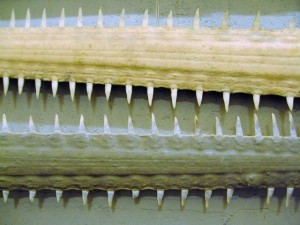 Sawfish rostra (Wikimedia Commons)