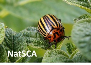 Colorado potato beetle, Chalupský 2004, Image in public domain