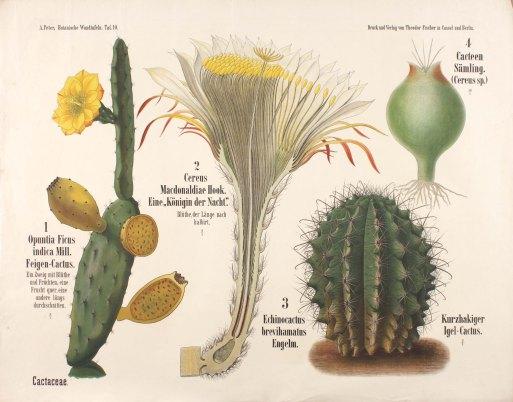 Cactus teaching poster, Manchester Museum
