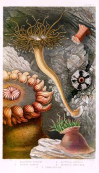 "Plate V in ""British Sea-Anemone and Corals"" by Philip Henry Gosse, Van voorst, Paternoster Row, London, 1860."